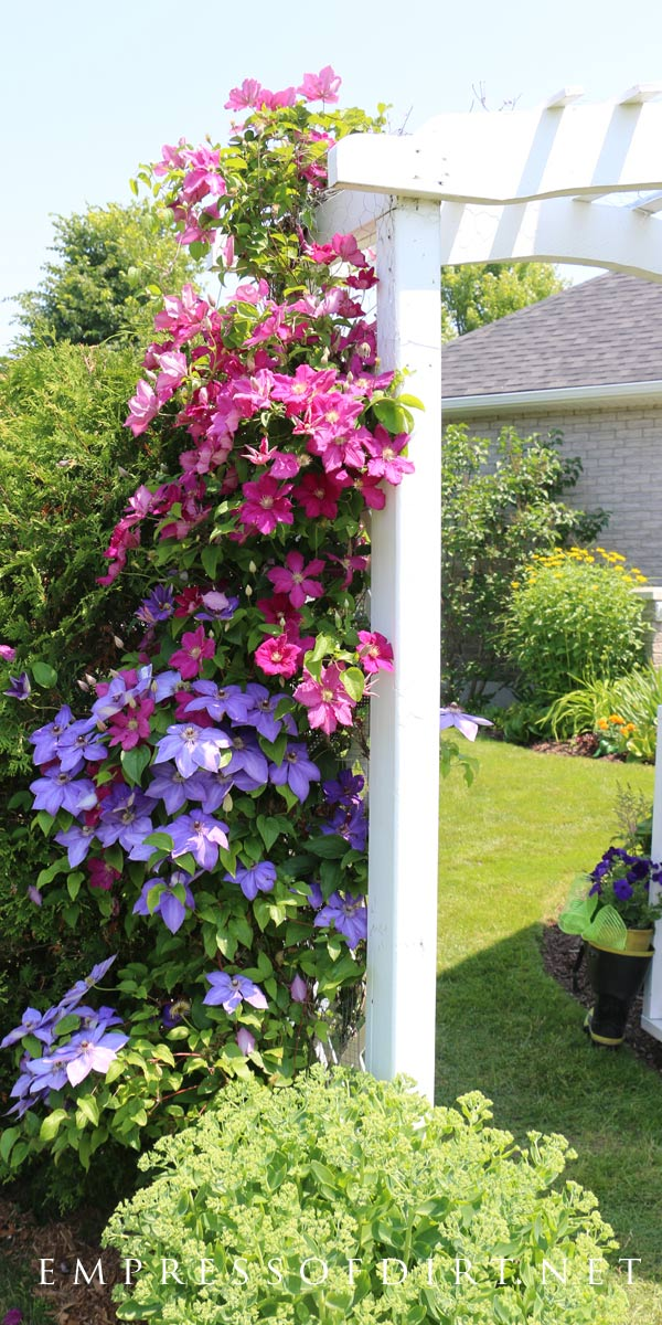 Grow two colours of clematis up an arch.