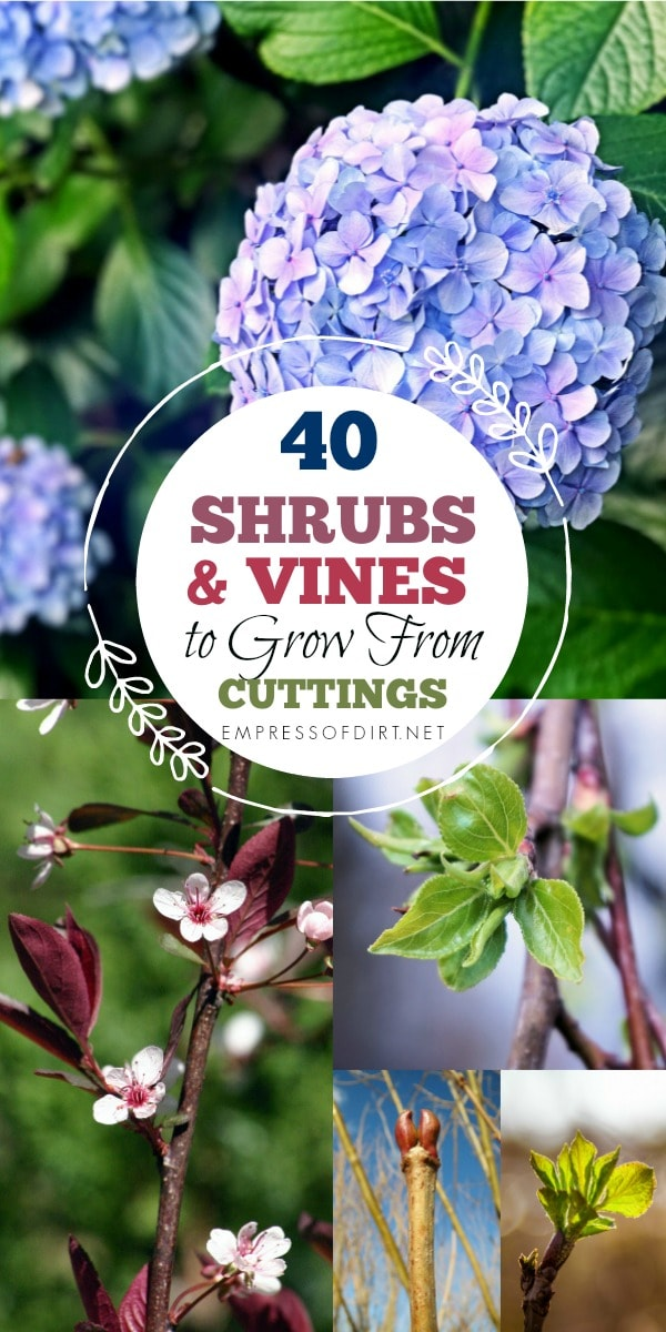 Starting new plants from hardwood cuttings is a slow but reliable way to grow more, free plants for your garden. This method is done in the fall after the leaves have dropped and works with many deciduous shrubs and vines.