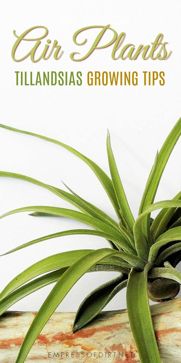 Air plants or Tillandsias are unusual low-care plants you can grow indoors and outdoors.