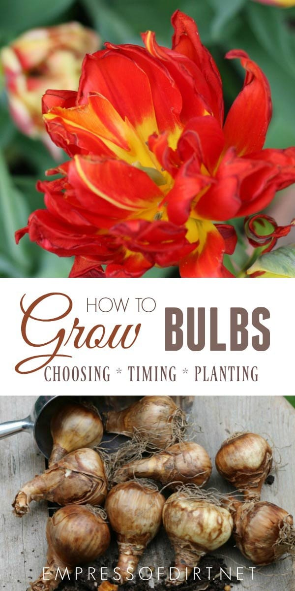 This resource guide for growing flowering bulbs includes forcing bulbs indoors, and planting outdoors in both containers and the ground.
