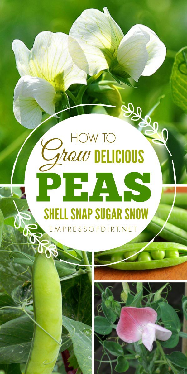 How to grow delicious shall, snap, sugar, and sow peas.