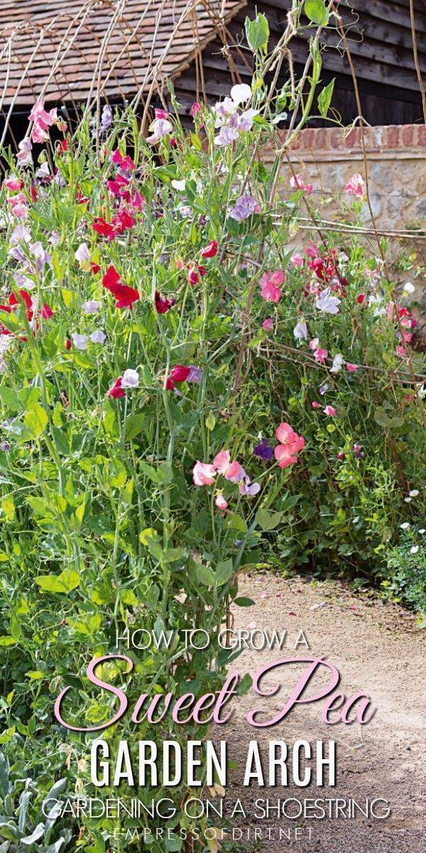 How to grow a sweet pea garden arch in your yard