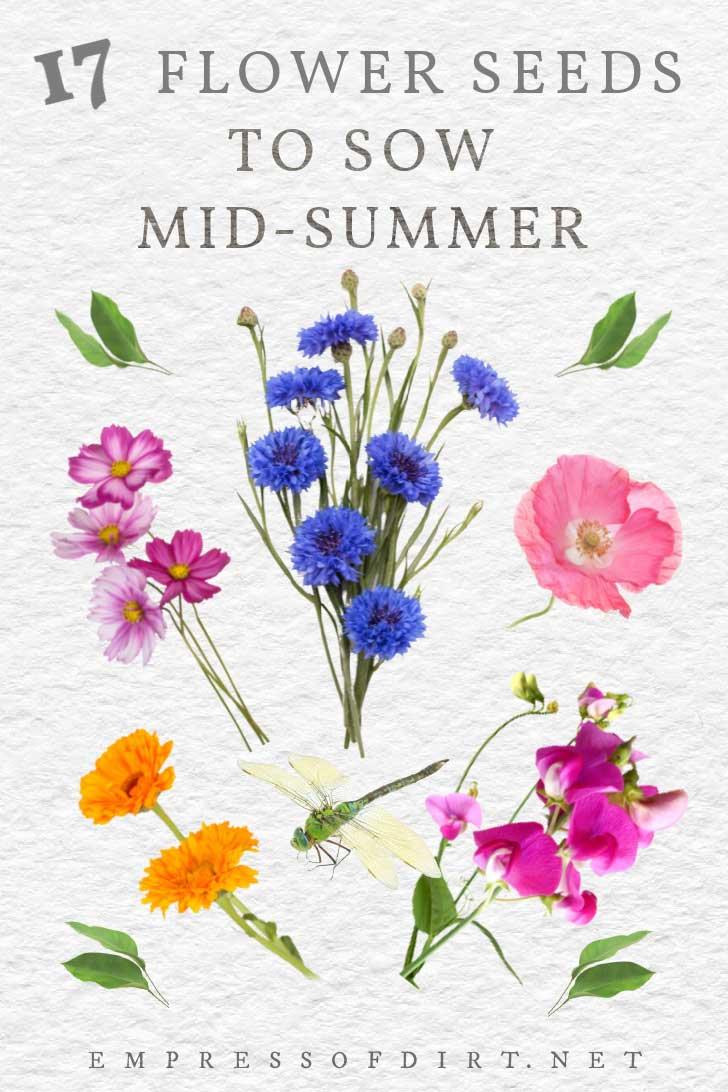 Flores que podem ser semeadas por sementes em meados do verão.