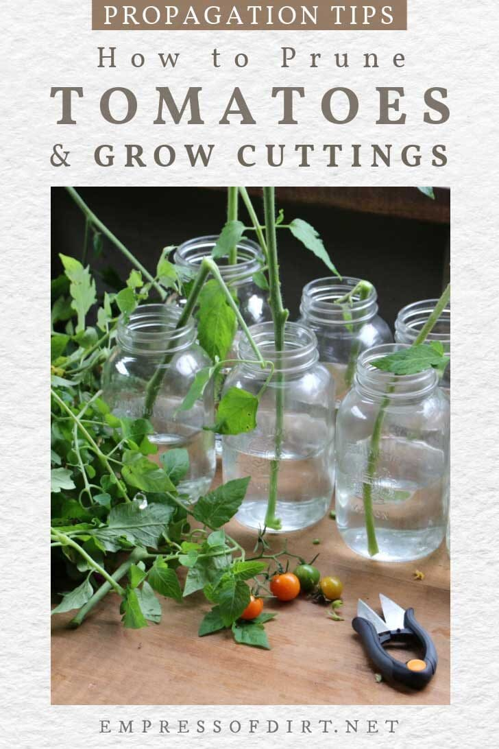 Tomato cuttings for rooting new plants.
