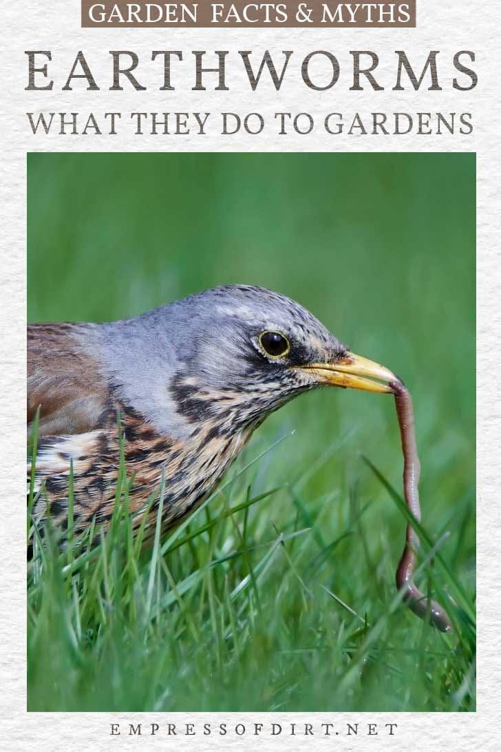 Bird eating earthworm.