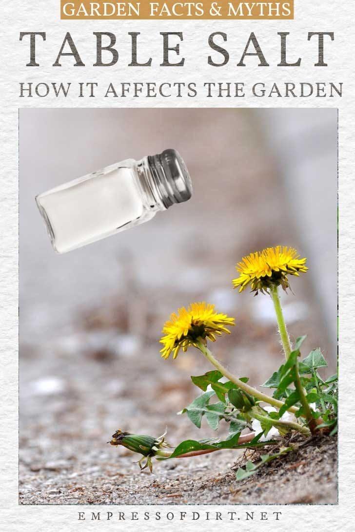 Salt shaker and dandelions in the garden.