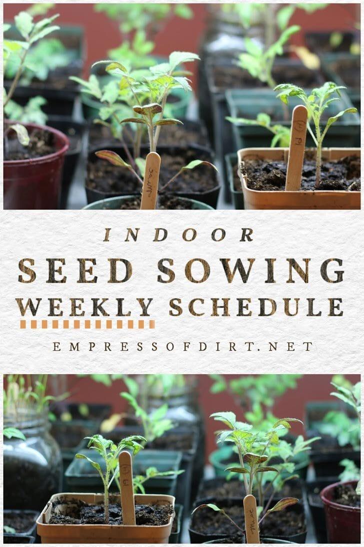Seedlings in small flower pots growing indoors.