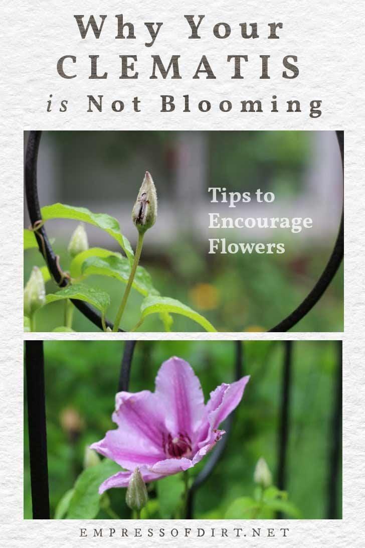Clematis not blooming in garden.