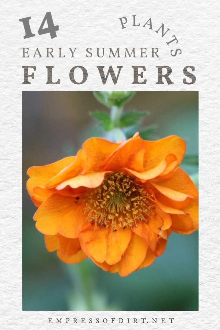 Orange geum flower.