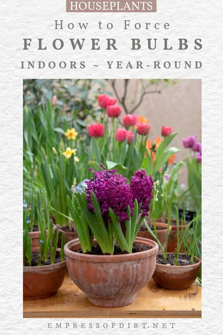 Examples of bulbs you can force to flower indoors including hyacinth and tulips.