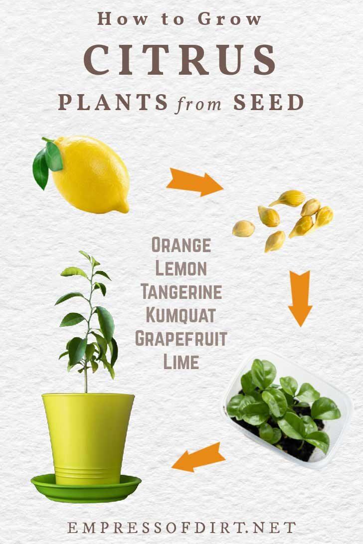 Lemon fruit, seeds, seedlings, and tree in a pot.