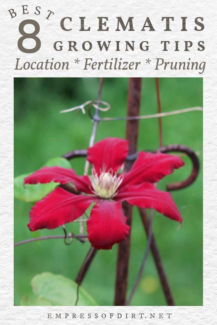 Red clematis flower growing in garden.