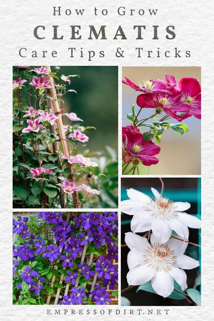Various clematis vines growing in the garden with pink, red, blue, and white flowers.