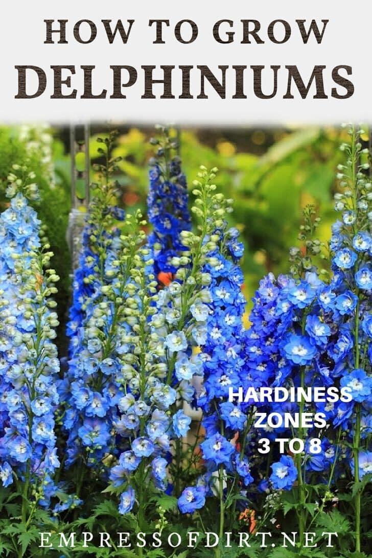 Blue delphinium flowers in the garden.