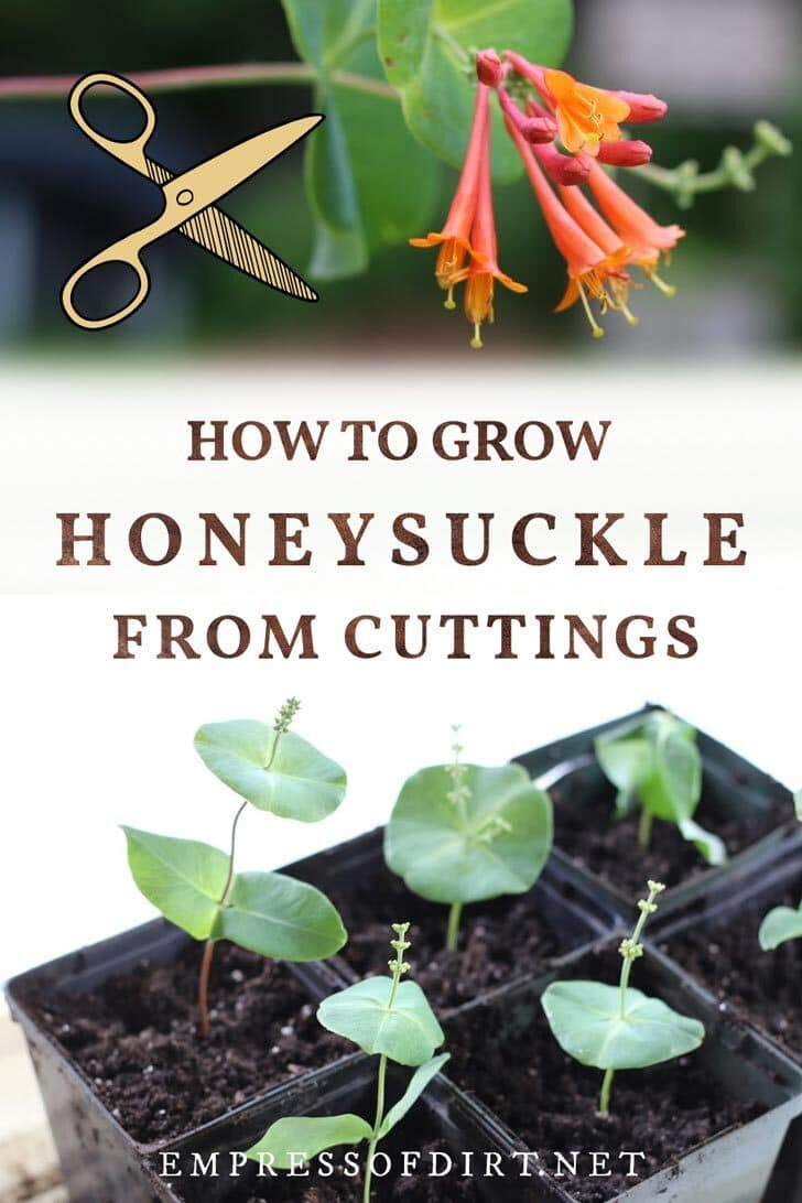 Honeysuckle flower and cuttings rooting in pots.