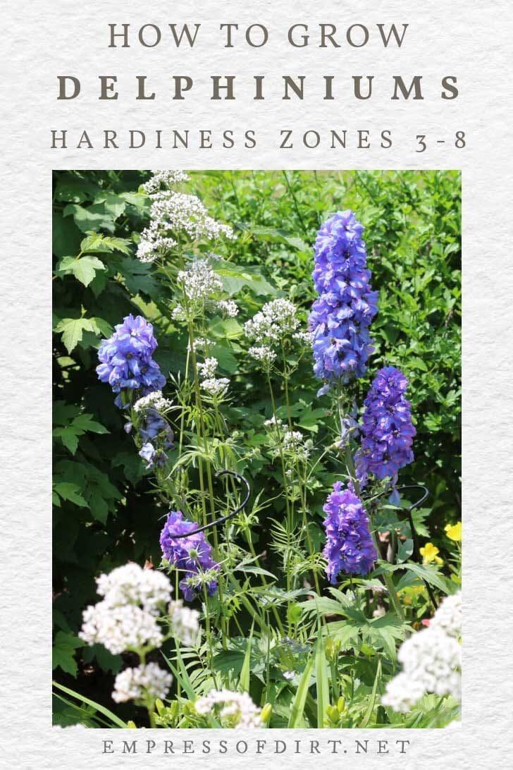 Blue delphiniums growing in a flower garden.