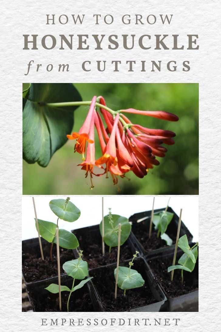 Honeysuckle flower and vine cuttings.