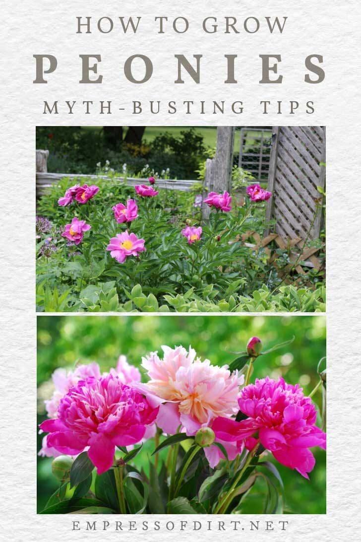 Pink peonies growing in the garden.