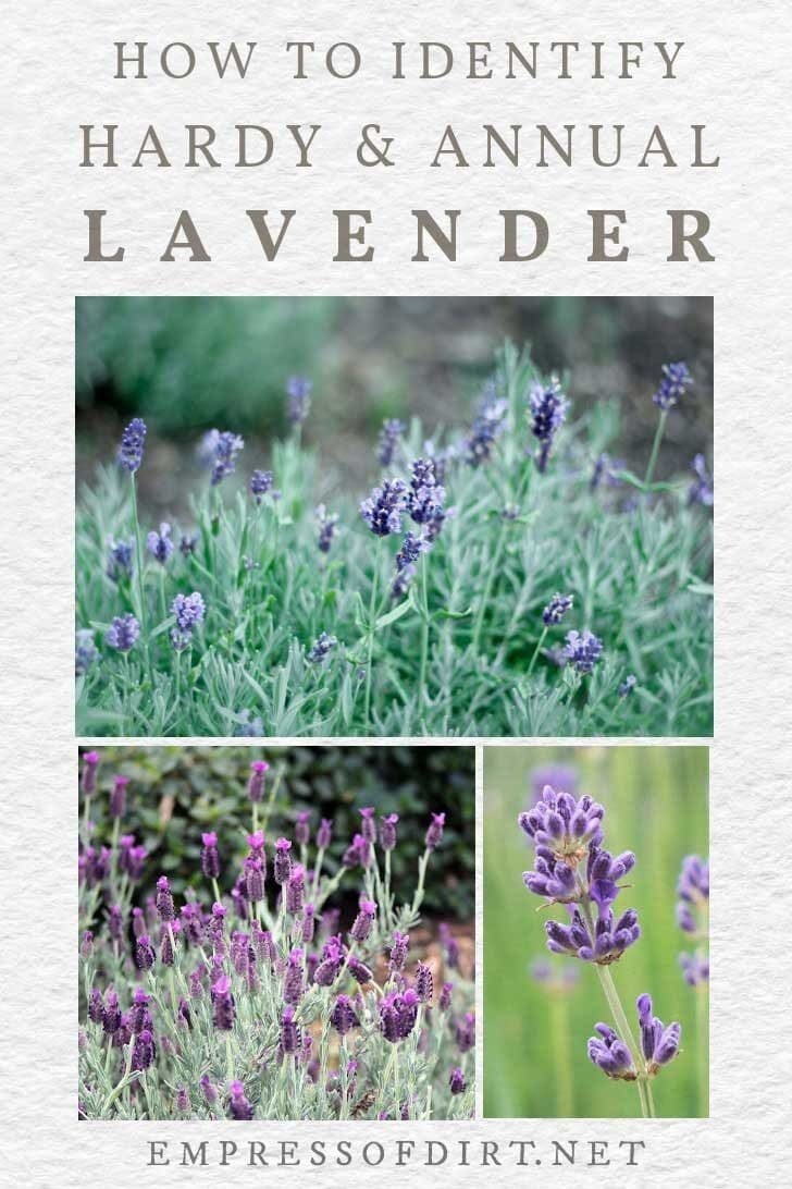 Various hardy and annual lavender plants.