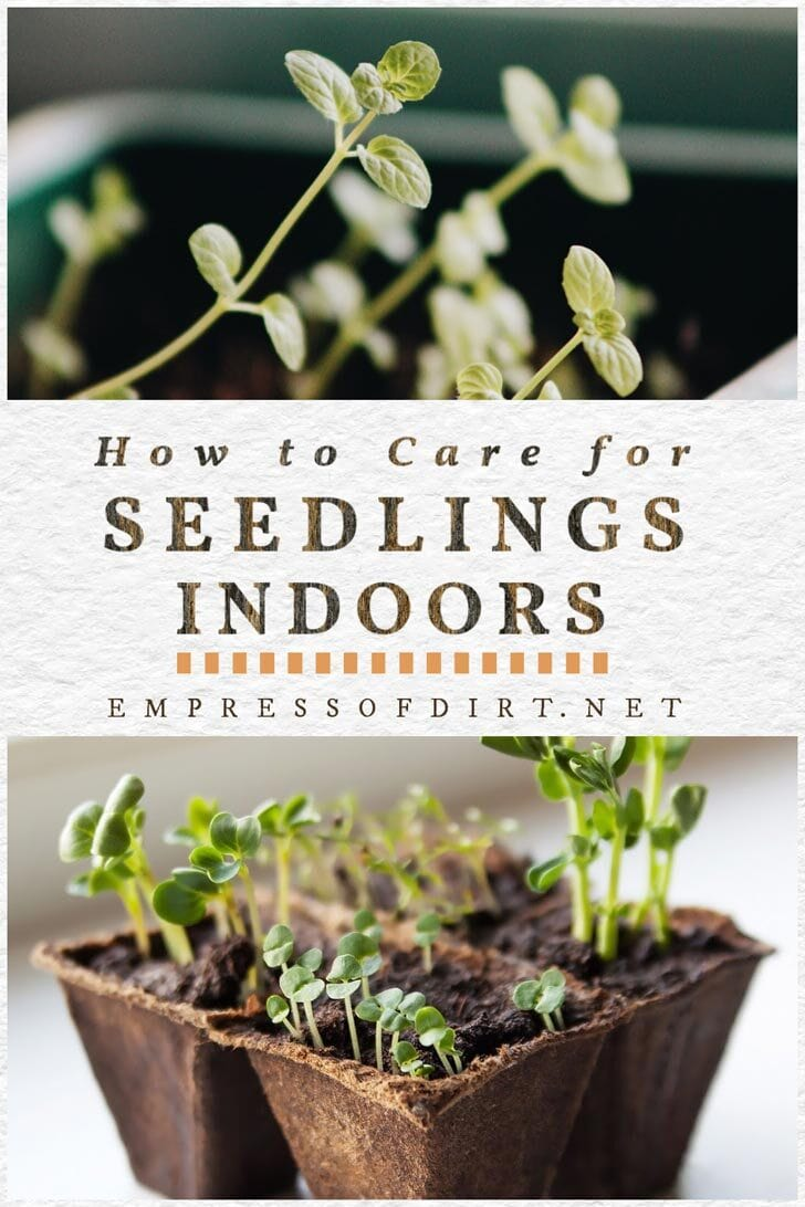Indoor seedlings requiring weekly care to grow and thrive.