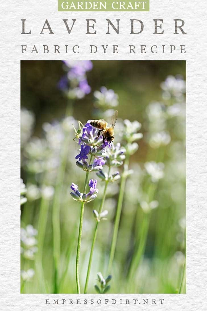 Lavender plants in garden with bee.