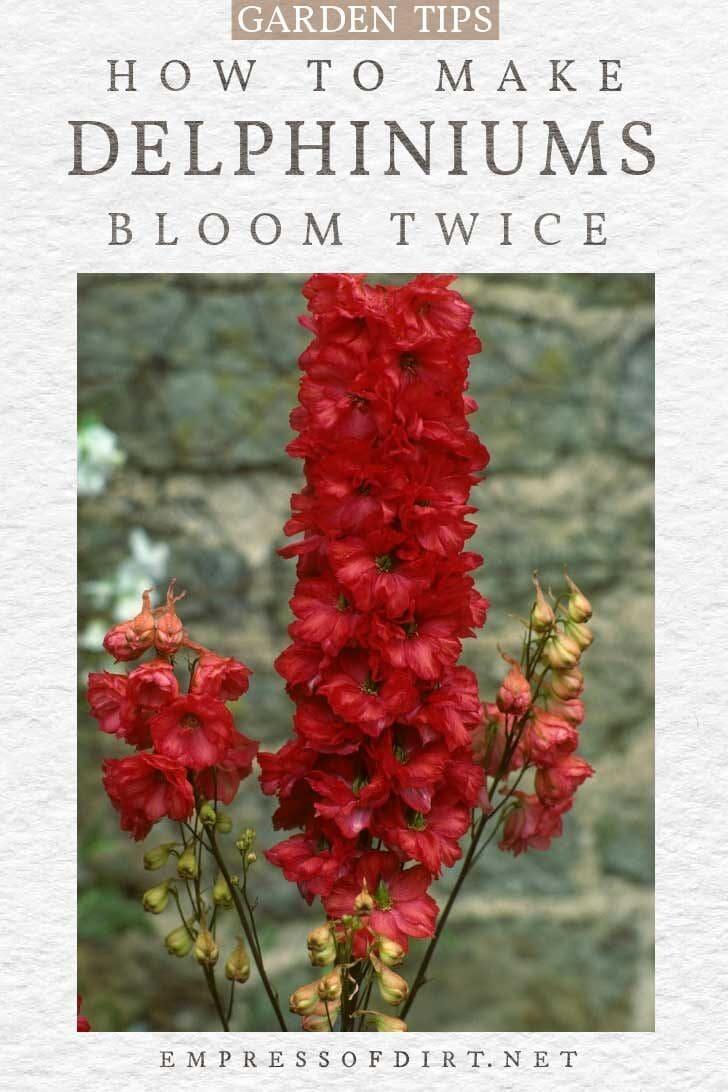 Red delphinium flowers.