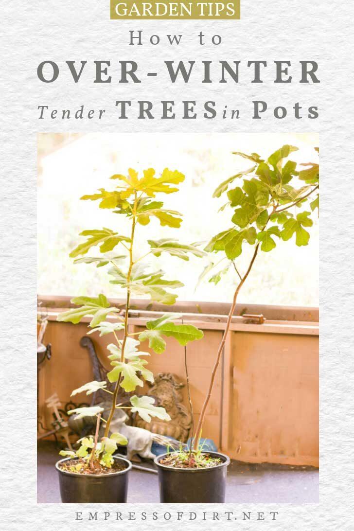 Fig trees in flower pots.