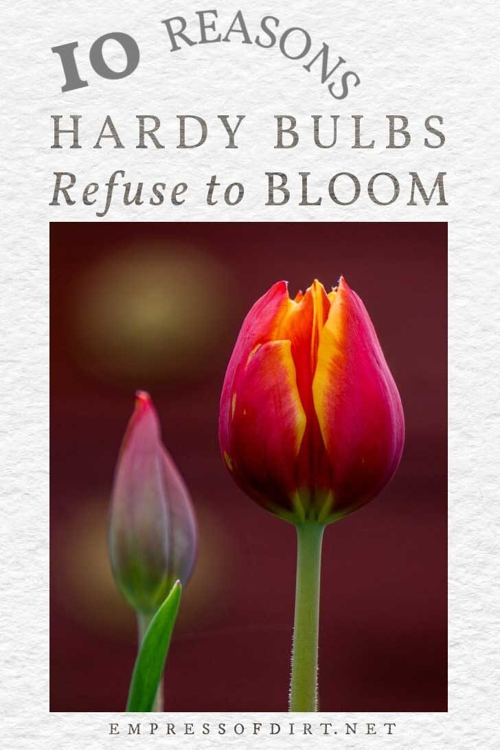 Red tulips with orange edges: one in bloom, the other budding.