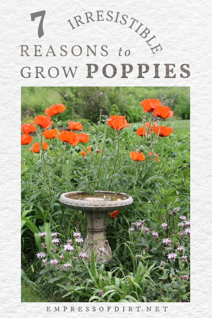 Poppies growing in the garden near a birdbath.