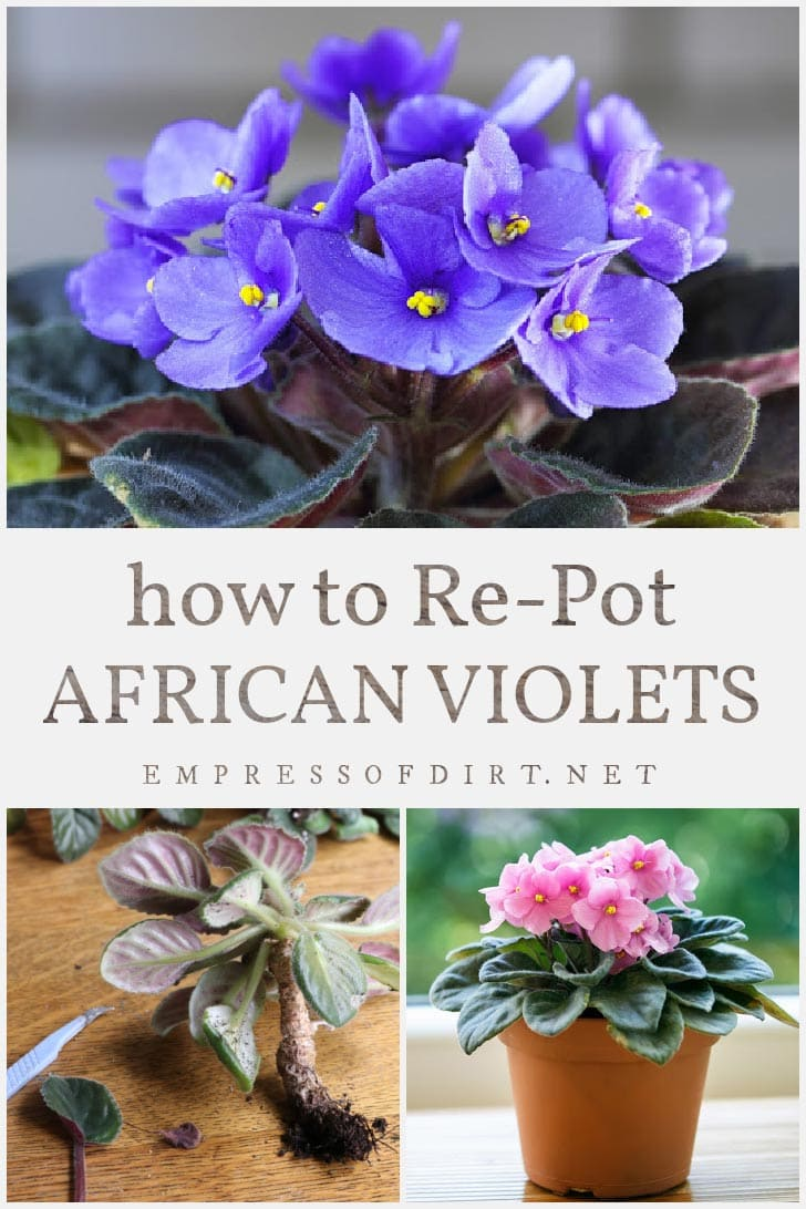 African violet plants with purple and pink flowers.