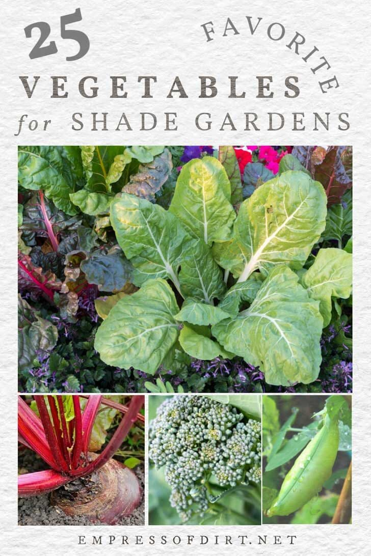 Examples of vegetables that can grow in shade conditions including cabbage, beets, and broccoli.