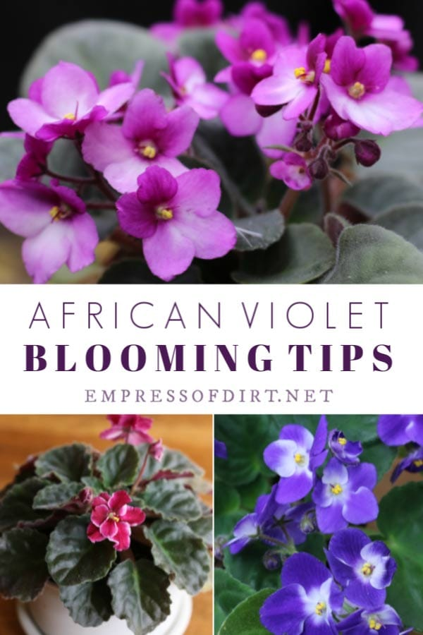 How to make African violets bloom.