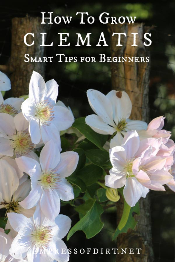 Clematis growing tips for beginner gardeners.