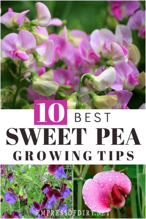 Sweet pea growing tips.
