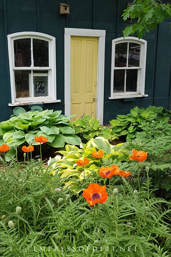 Poppies and hostas in late spring garden.