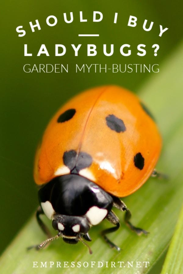 Should I Buy Ladybugs for my Garden? | Ladybug Facts