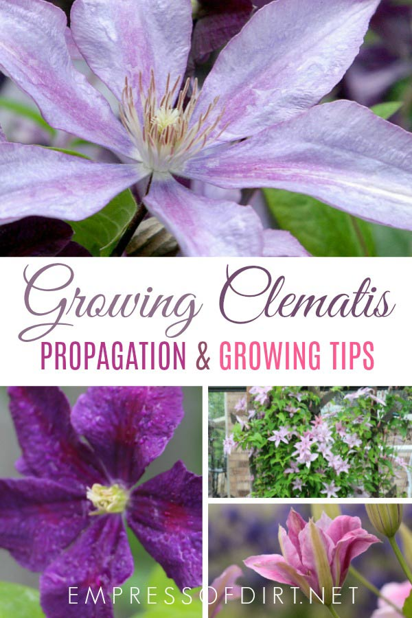 Clematis Propagation and Growing Tips