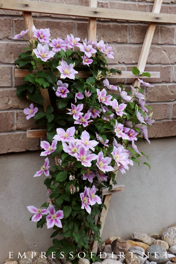 Pretty pink clematis vine on a trellis.
