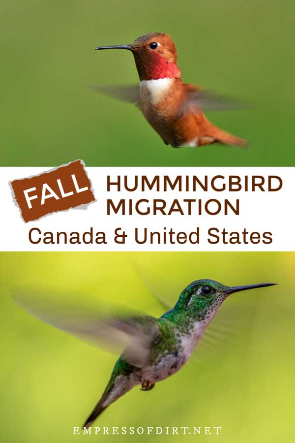 Hummingbirds in flight.