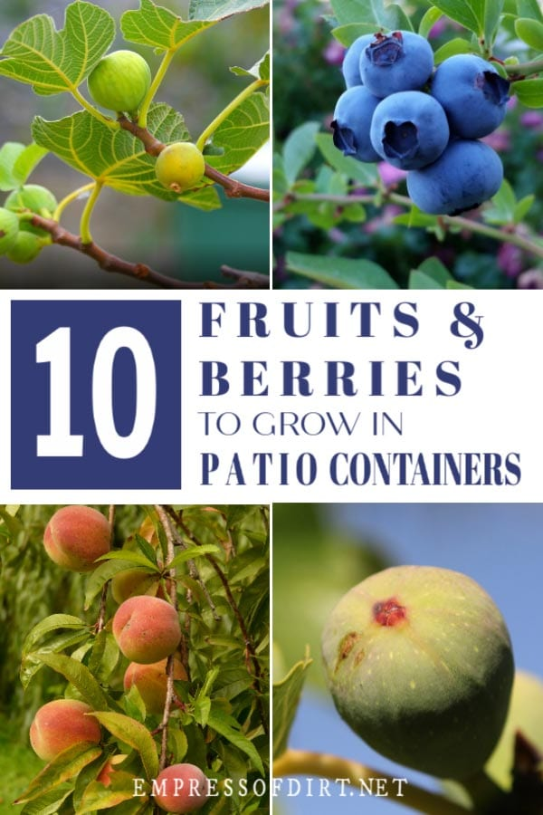 Fruit trees and berry bushes for patio containers.