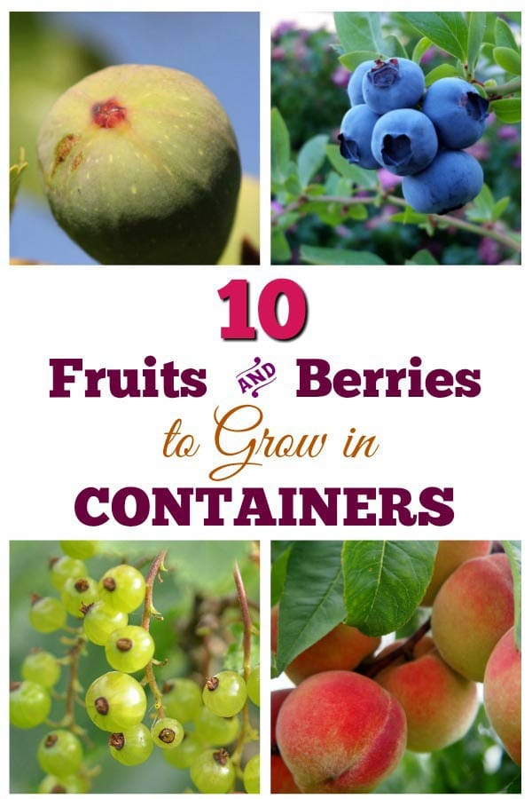 10 Fruit Trees and Berry Bushes to Grow in Containers
