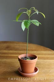 Avocado plant growing in clay pot.