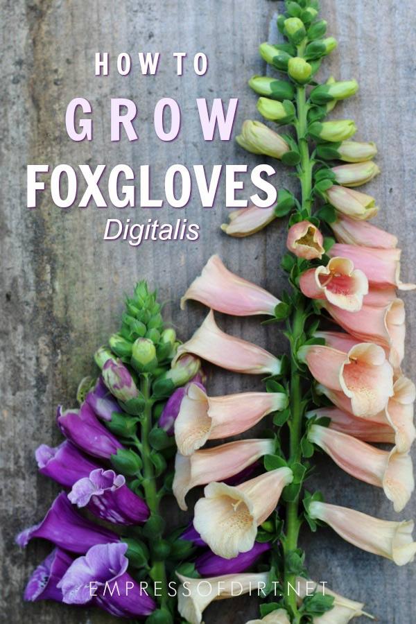 How to Grow Foxgloves | Digitalis