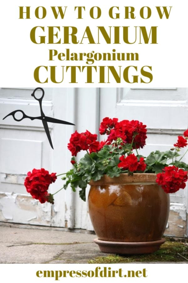 Red geraniums (pelargoniums) in a flower pot with scissors.