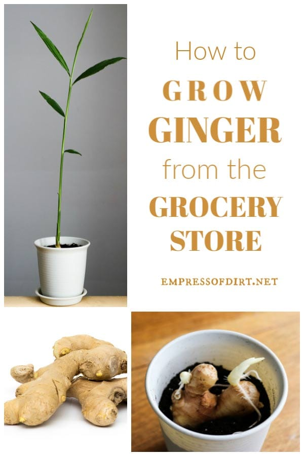 How to Grow Ginger Root as a Houseplant | Easy Method