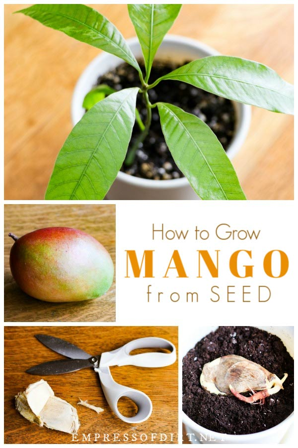 How to Grow Mango from Seed | Easy Method