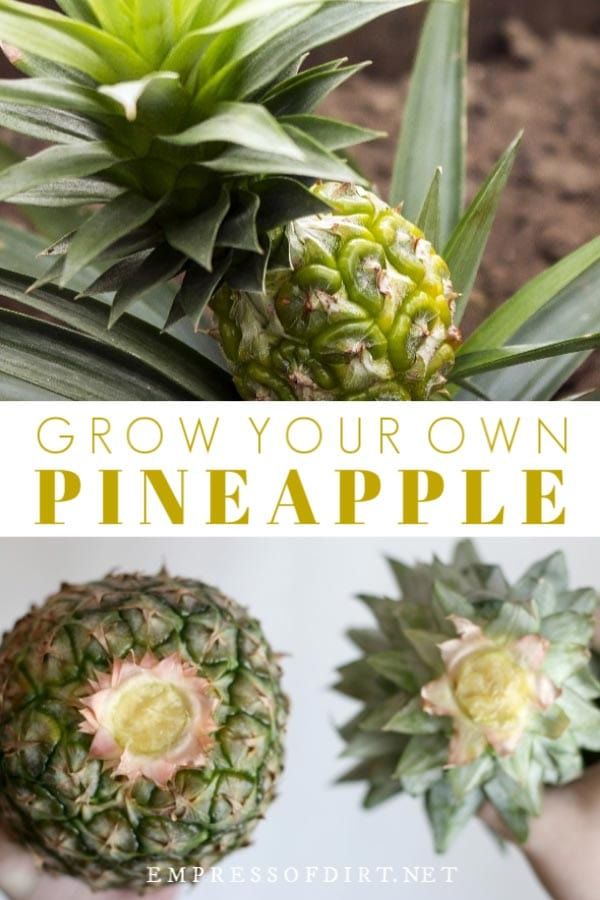 how to grow a pineapple plant at home