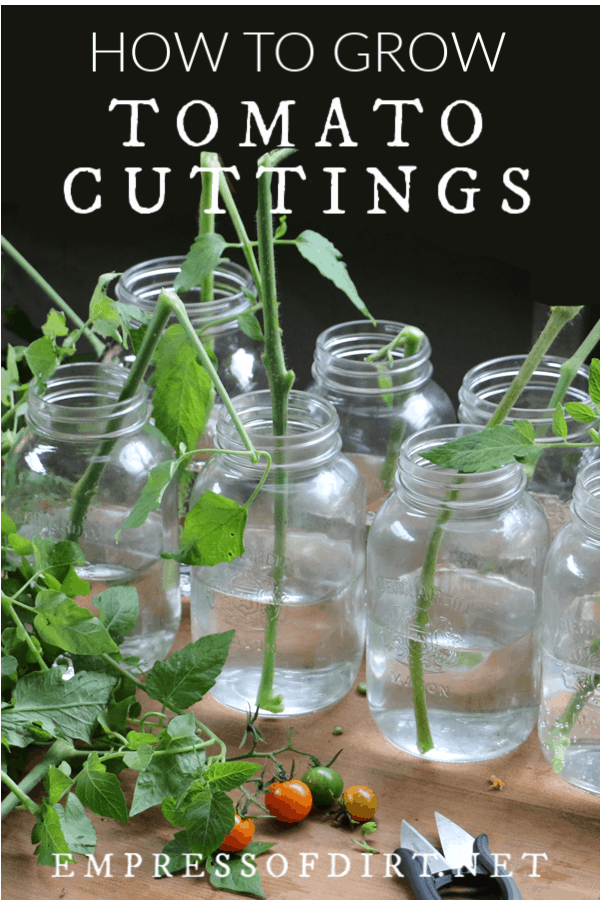 How to Prune Tomatoes and Grow New Plants from Cuttings