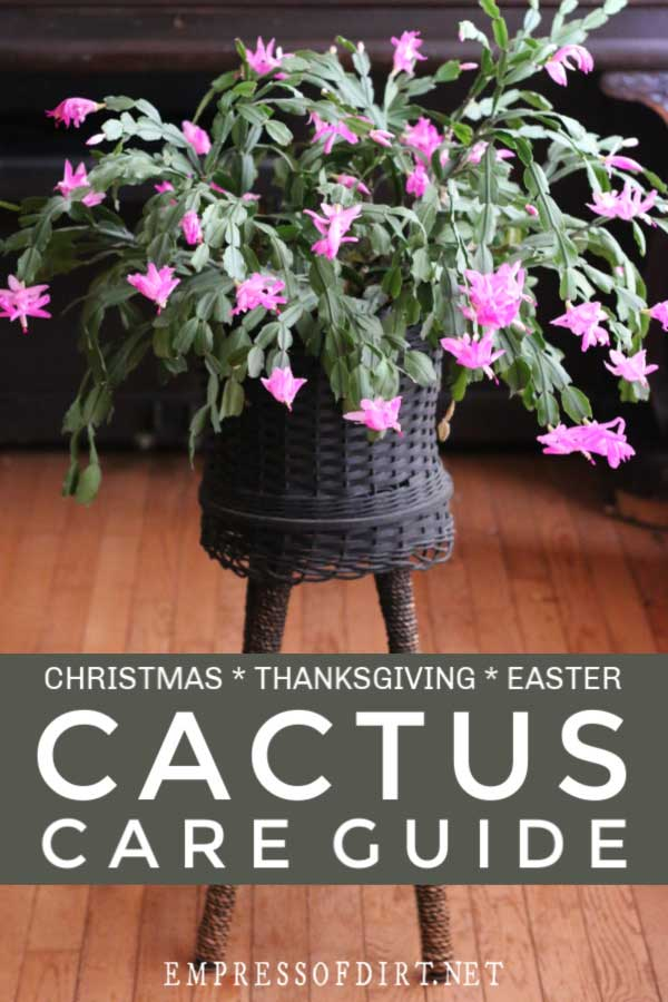 Pink holiday cactus in wicker plant stand.