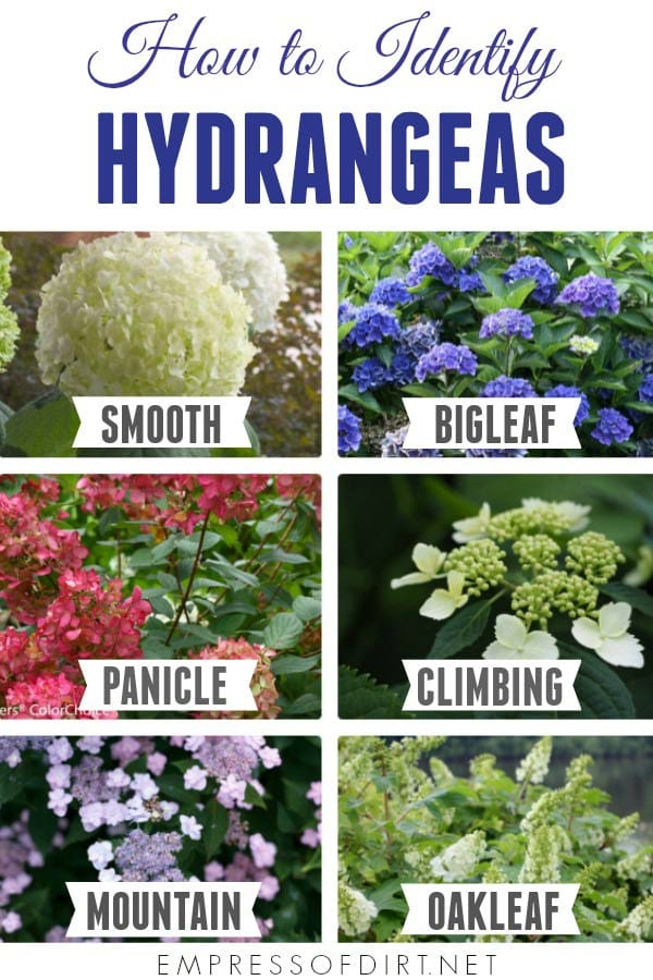 How to Identify Hydrangeas